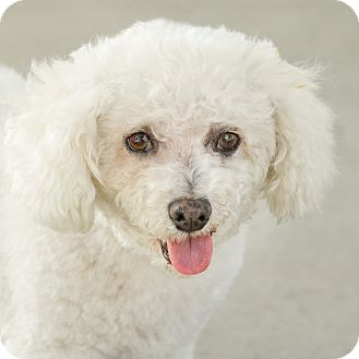 Bichon Frise Dog for adoption in Culver City, California - Mitzy