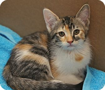 Maine Coon Kitten for adoption in Houston, Texas - Koko (So Pretty!)