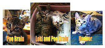 Domestic Shorthair Kitten for adoption in Haughton, Louisiana - Dawn's kittens