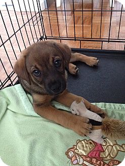 Hound (Unknown Type) Mix Puppy for adoption in Jersey City, New Jersey - Alfred Molina