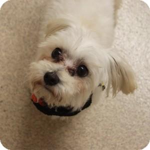 Maltese/Poodle (Miniature) Mix Dog for adoption in Naperville, Illinois - Booboo
