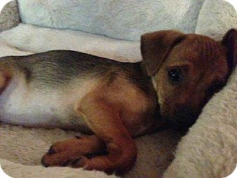 Dachshund/Chihuahua Mix Puppy for adoption in Lomita, California - DTLA Doxie mix Fl