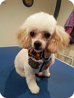 Poodle (Toy or Tea Cup) Dog for adoption in Romeoville, Illinois - Turbo *Adoption Pending*