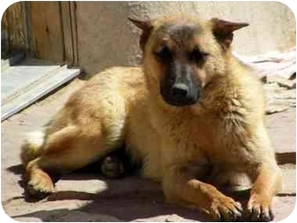 German Shepherd Dog Mix Dog for adoption in Santa Fe, New Mexico - Ofelia