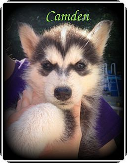 Husky/German Shepherd Dog Mix Puppy for adoption in Denver, North Carolina - Camden