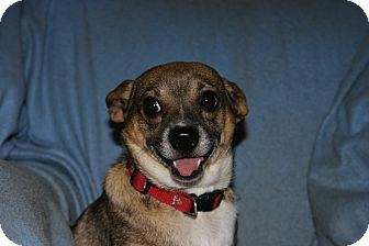 Chihuahua Mix Dog for adoption in Elsberry, Missouri - Benny