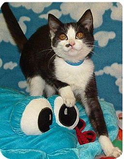 Domestic Shorthair Kitten for adoption in Hillside, Illinois - Naomi