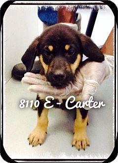Labrador Retriever/Husky Mix Puppy for adoption in Dillon, South Carolina - Carter
