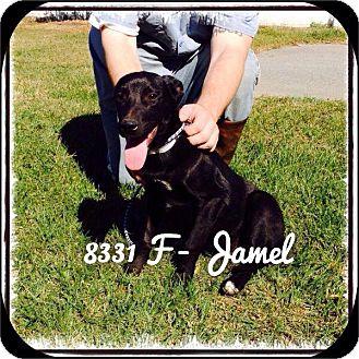 Labrador Retriever Dog for adoption in Dillon, South Carolina - Jamel
