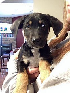 Beagle/Australian Shepherd Mix Puppy for adoption in Anoka, Minnesota - Clover
