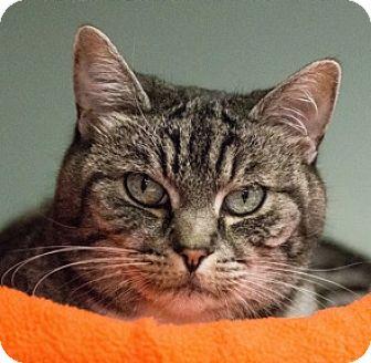 Domestic Shorthair Cat for adoption in Calgary, Alberta - Candie