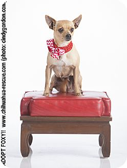 Chihuahua Mix Dog for adoption in Dallas, Texas - Foxy