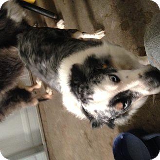 Australian Shepherd Mix Dog for adoption in Parker, Kansas - Boomer