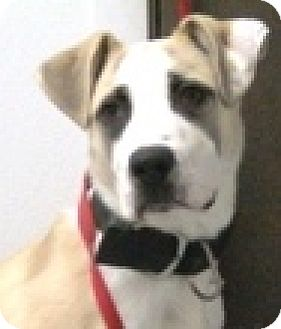 Labrador Retriever/Boxer Mix Dog for adoption in Keokuk, Iowa - Rocko