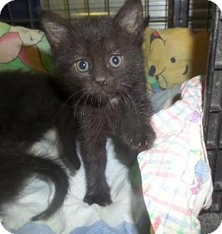 Domestic Shorthair Kitten for adoption in East Brunswick, New Jersey - Salt