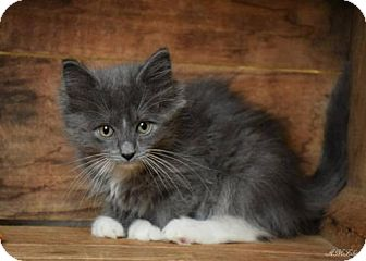 Domestic Mediumhair Kitten for adoption in Germantown, Maryland - Tabitha