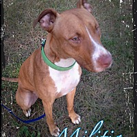 Adopt A Pet :: Militia - Sioux Falls, SD