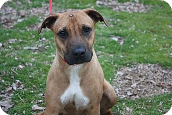 American Staffordshire Terrier Mix Dog for adoption in Conway, Arkansas - Patsy