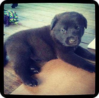 Labrador Retriever/Catahoula Leopard Dog Mix Puppy for adoption in Grand Bay, Alabama - Nash