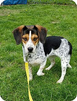 Beagle Mix Puppy for adoption in Oakland, Michigan - Freckles