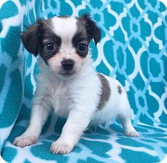 Poodle (Miniature)/Chihuahua Mix Puppy for adoption in santa monica, California - Lentil