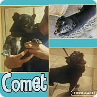 Adopt A Pet :: Comet - Scottsdale, AZ