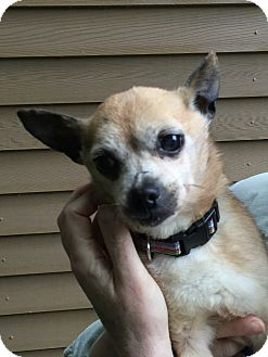 Chihuahua Mix Dog for adoption in South Haven, Michigan - Brenda