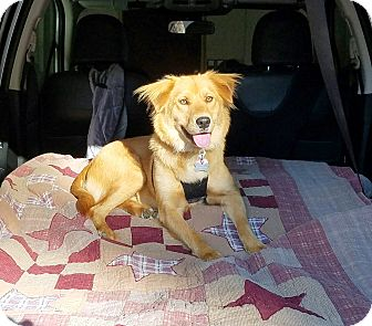 Golden Retriever Mix Dog for adoption in New Canaan, Connecticut - Gillian