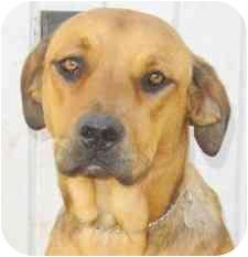 Labrador Retriever/Rottweiler Mix Dog for adoption in El Segundo, California - Carmela