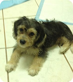 Yorkie, Yorkshire Terrier/Beagle Mix Puppy for adoption in San Diego, California - Baloo