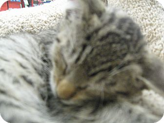 Domestic Shorthair Kitten for adoption in New york, New York - ROGER
