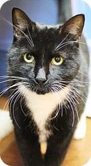 Domestic Shorthair Cat for adoption in Benbrook, Texas - Syl