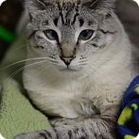 Domestic Shorthair Cat for adoption in Atlanta, Georgia - Venice 13687