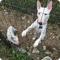 Adopt A Pet :: Shorty - Houston, TX