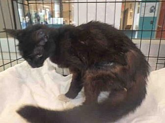 Domestic Mediumhair Cat for adoption in Chatsworth, California - ROXANNE