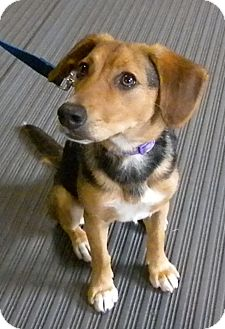 Beagle/German Shepherd Dog Mix Puppy for adoption in Irwin, Pennsylvania - Annie