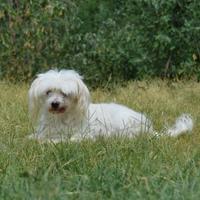 Maltese Mix Dog for adoption in Bethany, Oklahoma - Toby