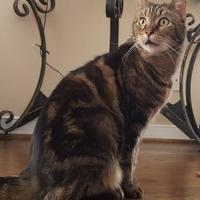 Adopt A Pet :: Latif - Richmond, VA