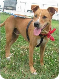 American Staffordshire Terrier/Labrador Retriever Mix Dog for adoption in Freeport, New York - Cooper