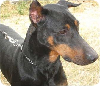 Doberman Pinscher Dog for adoption in Sun Valley, California - Rico