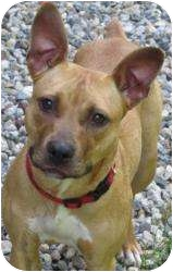 Shepherd (Unknown Type)/Boxer Mix Dog for adoption in Bloomfield, Connecticut - Jazzy