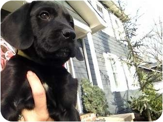 Labrador Retriever Mix Puppy for adoption in Knoxvillle, Tennessee - Homer Pup