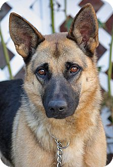 German Shepherd Dog Dog for adoption in Los Angeles, California - Karissa von Kelbra