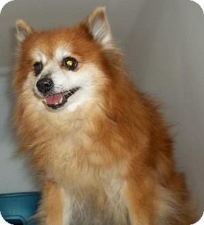 Pomeranian Mix Dog for adoption in Gaffney, South Carolina - Paula