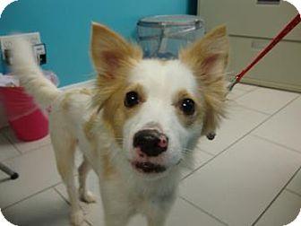 Border Collie/Jack Russell Terrier Mix Dog for adoption in Philadelphia, Pennsylvania - Daisy