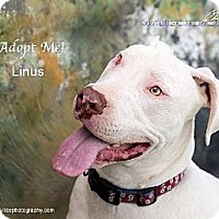 Catahoula Leopard Dog Mix Dog for adoption in Acton, California - Linus