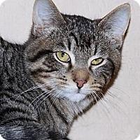 Domestic Shorthair Cat for adoption in Eldora, Iowa - Carson