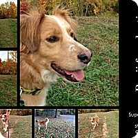 English Shepherd/Collie Mix Dog for adoption in Alexandria, Virginia - Benji