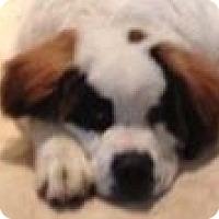 Adopt A Pet :: SEBASTION - Glendale, AZ