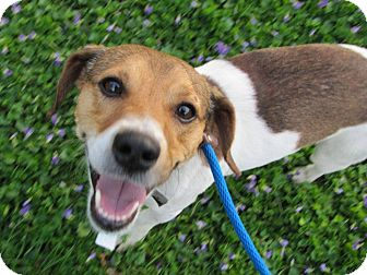Jack Russell Terrier Mix Dog for adoption in Lucknow, Ontario - Gunner